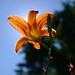 Orange Day Lily IV: Floral Eclipse by DGS Photography