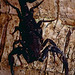 Small photo of Buthid Scorpion (Tityus obscurus)