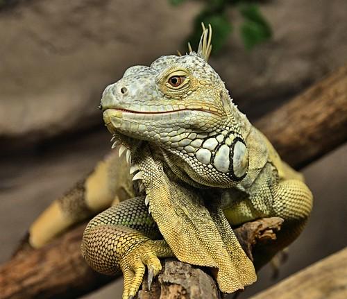 canada britishcolumbia iguana frontview aldergrove iguanaiguana greeniguana greatervancouverzoo gvzoo nikond7000 nikkor18to200mmvrlens