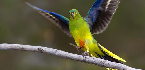 Australian endangered species: Orange-bellied Parrot - City