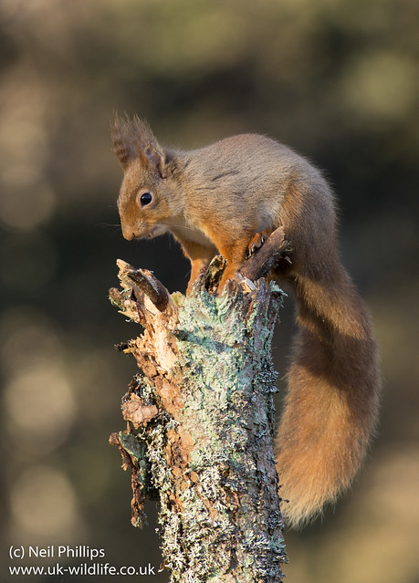 red squirrel-9