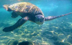 The Sea Turtle Duuudes and friends, in the Kona seas