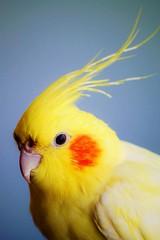 cockatoo, animal, yellow, wing, pet, fauna, close-up, cockatiel, beak, bird,