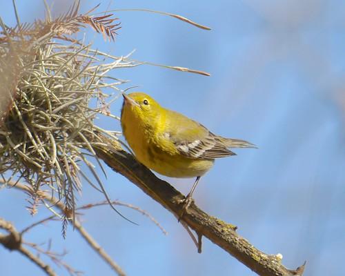 Pine Warbler - 1