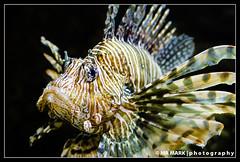 Lionfish, Georgia Aquarium
