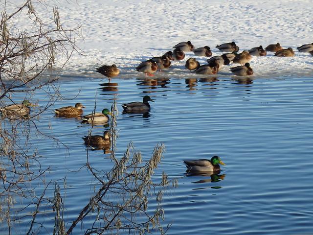 spring lake park mallards