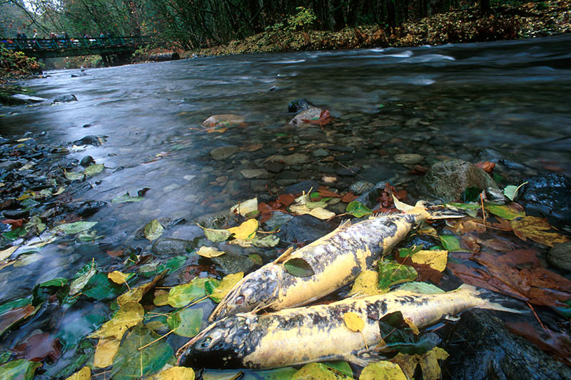 Spent Salmon after the Spawn at Goldstream Provincial Park, Langford, Victoria, Vancouver Island, British Columbia, Canada