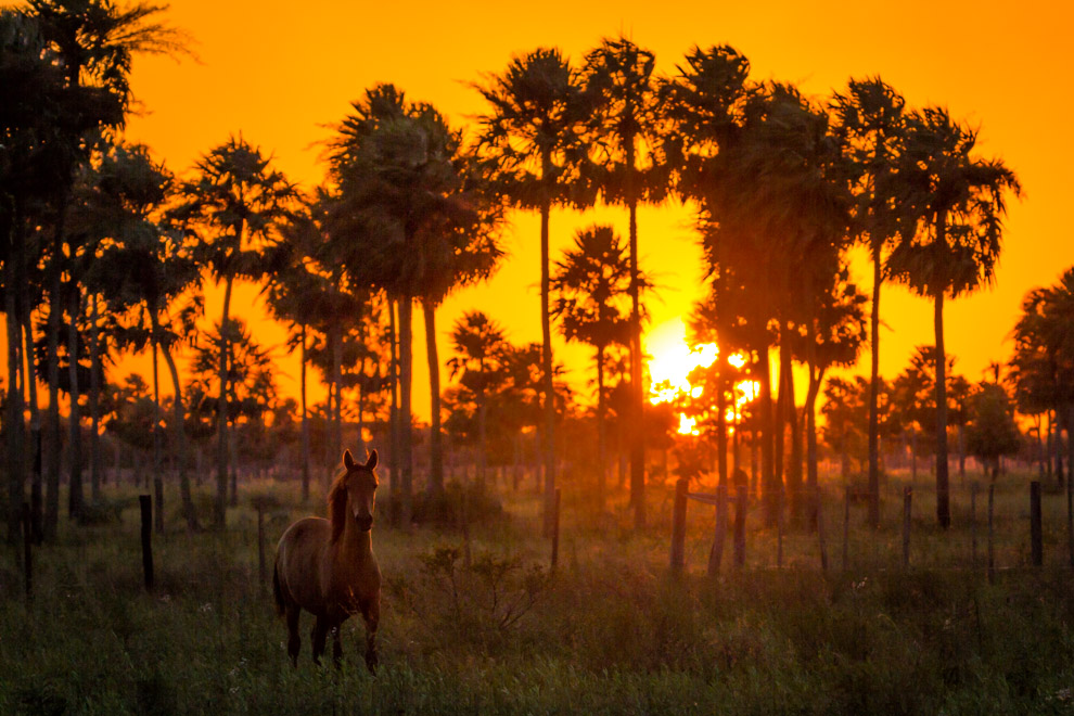 Un caballo sin domar nos observa atento mientras pasábamos durante la tarde por una estancia a kilómetros del Parque Nacional Defensores del Chaco. (Tetsu Espósito).