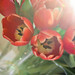 Spring tulips by Candace Nicole from Tickle My Whimsy