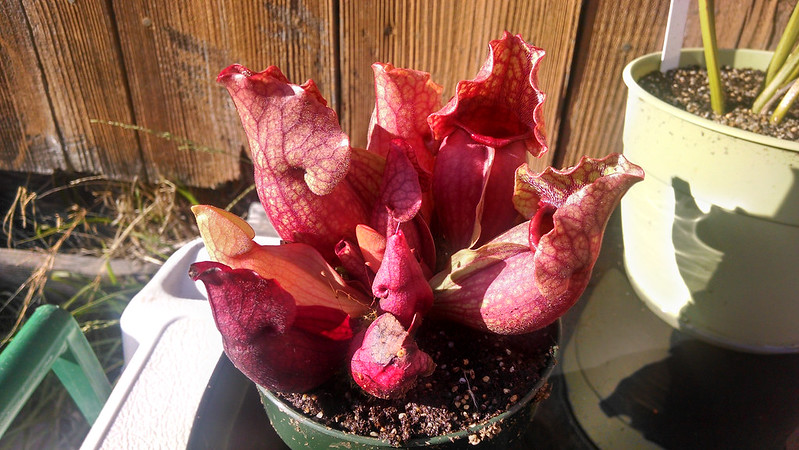 Sarracenia purpurea outdoors.