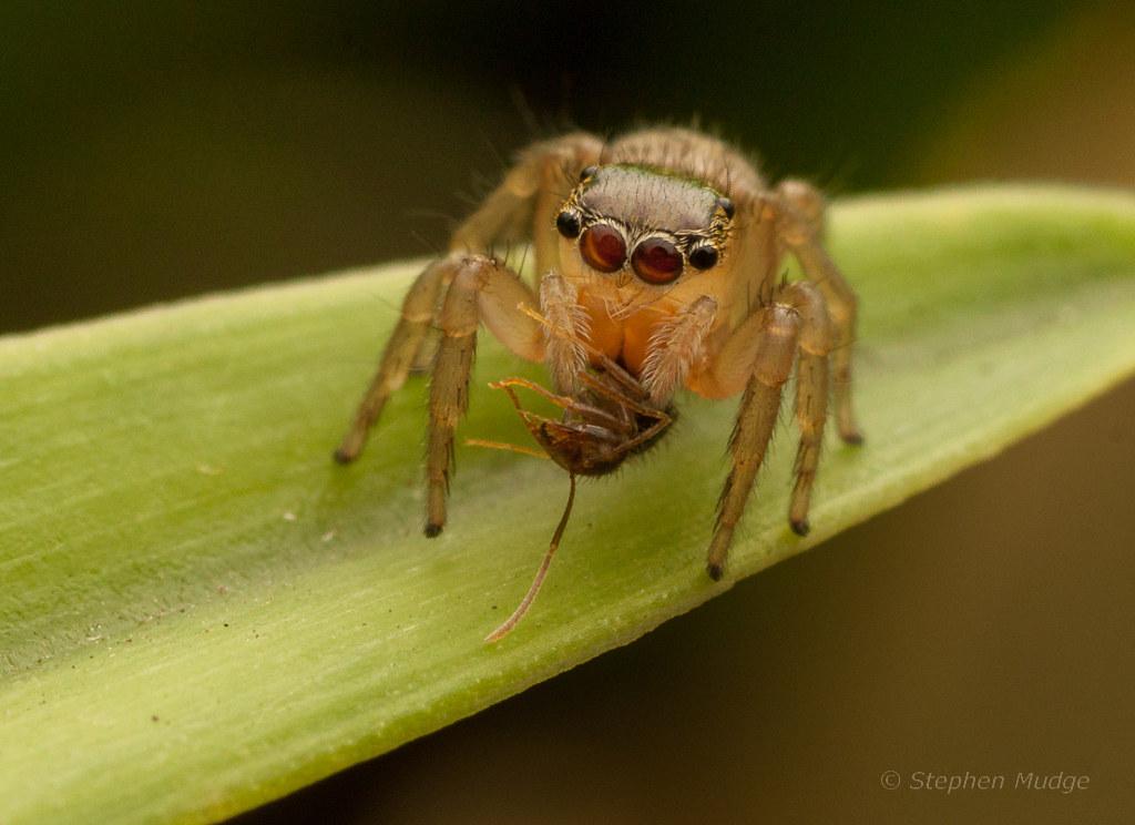 Lycidas sp. with prey
