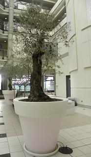 Olive tree MMU