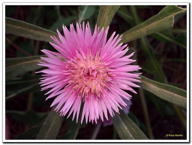 Centaurea pullata L.