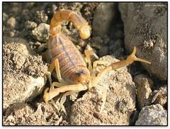 Escorpí comú (Buthus occitanus)
