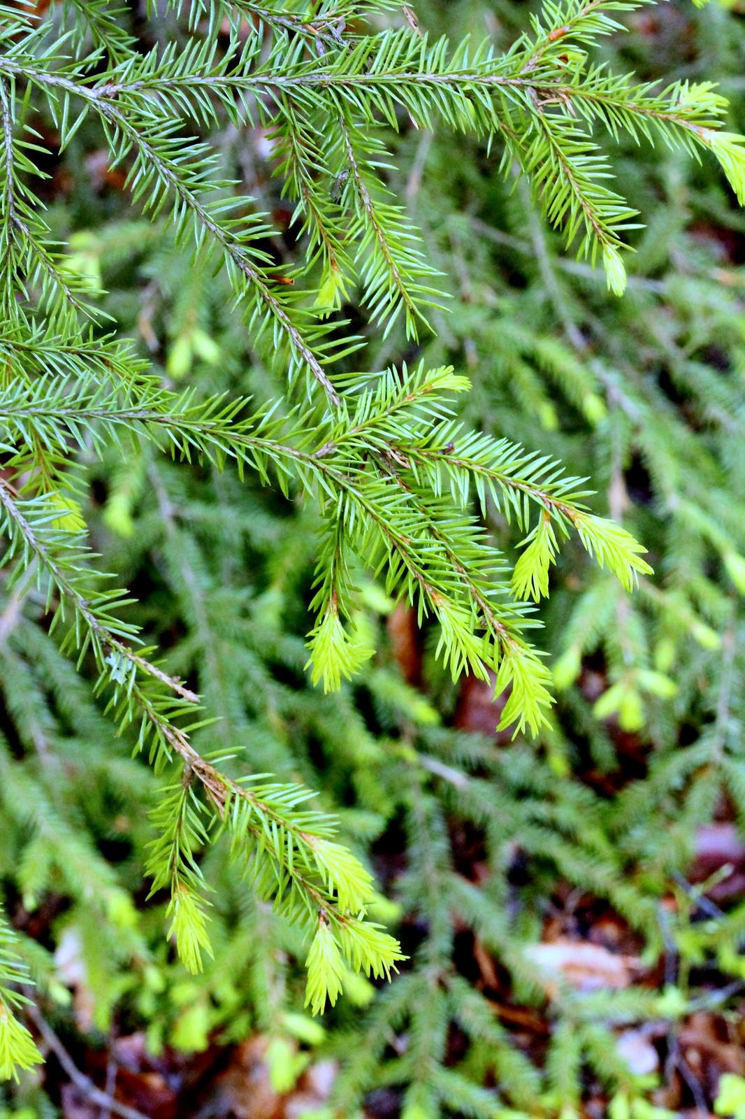 conifers5
