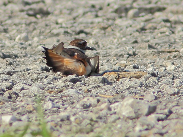 Killdeer distraction display 20130524