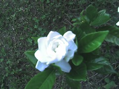 shrub, flower, plant, flora, gardenia,