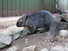 wombat(0.0), wildlife(0.0), animal(1.0), zoo(1.0), mammal(1.0), fauna(1.0),