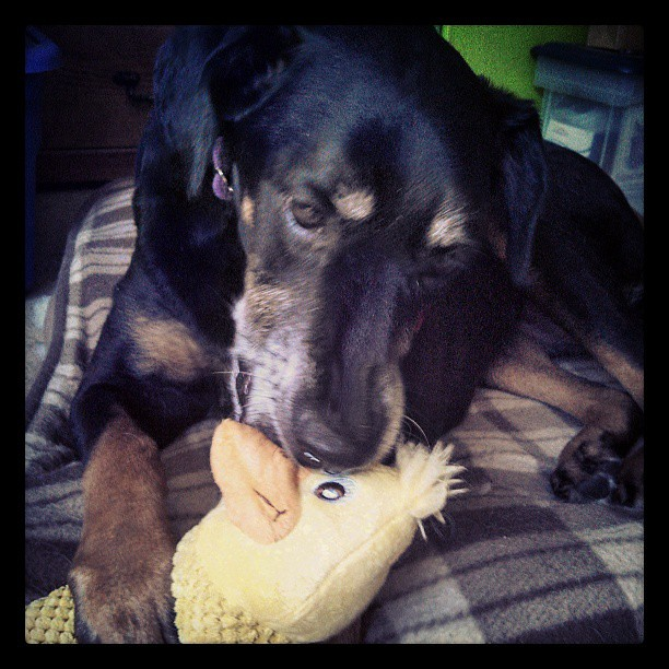 A girl and her duckie #dogstagram #dobermanmix #love