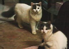 kitten(0.0), manx(0.0), animal(1.0), siamese(1.0), small to medium-sized cats(1.0), pet(1.0), mammal(1.0), snowshoe(1.0), cat(1.0), whiskers(1.0),