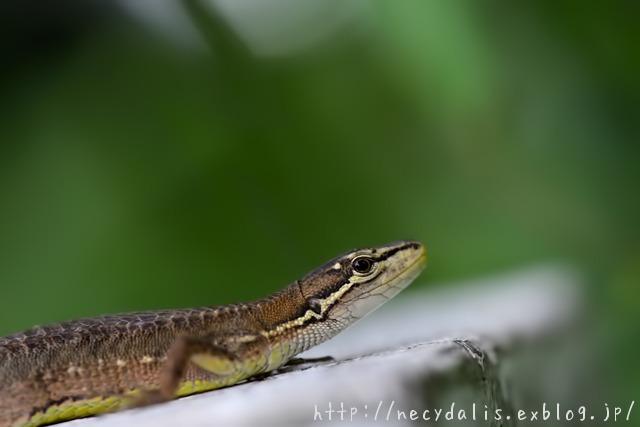 ニホンカナヘビ [Takydromus tachydromoides]...