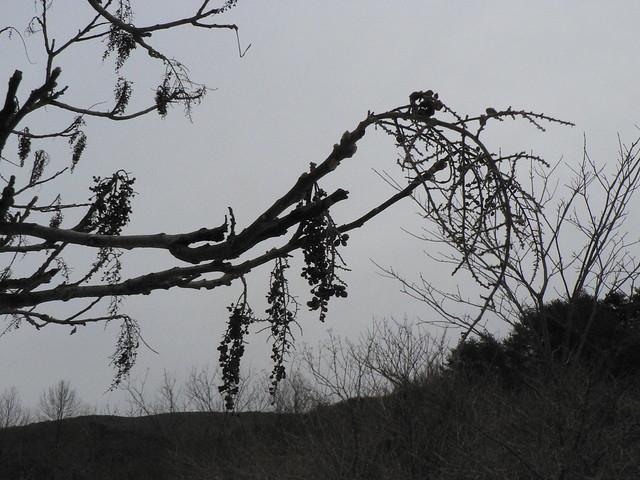 ヌルデの実は栄養価が高いので鳥のフンからよく出てくる.
