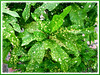 Spotted Arrowhead Croton