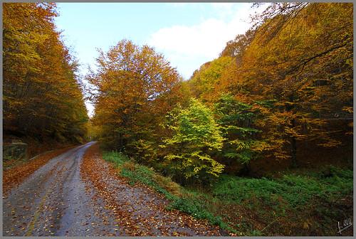 road autumn trees tree leaves pine greece fir beech firtree beechtree florina ελλάδα τοπίο autumnlandscape φθινόπωρο δρόμο greekfauna vitsi greeklandscape έλατο έλατα δρόμοσ φλώρινα βίτσι οξυά βελανιδιά δροσοπηγή λξ