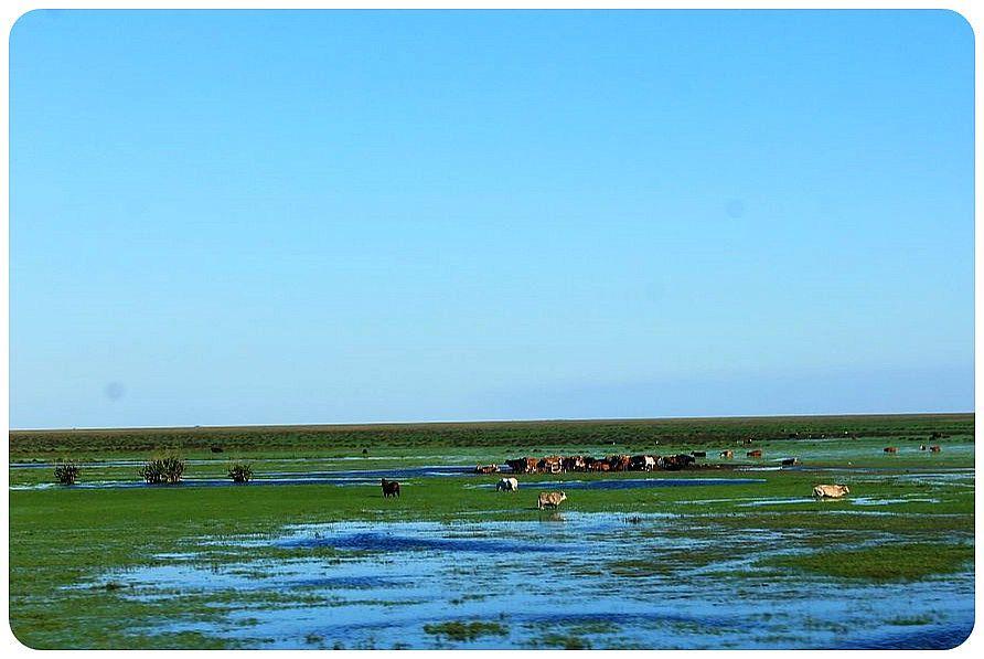 21 argentina cows3