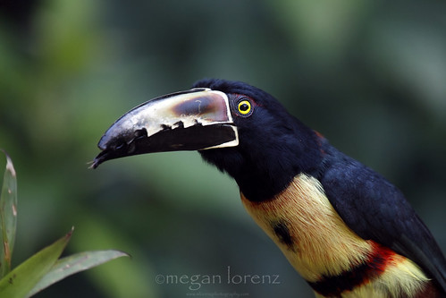 Tiny Toucan by Megan Lorenz