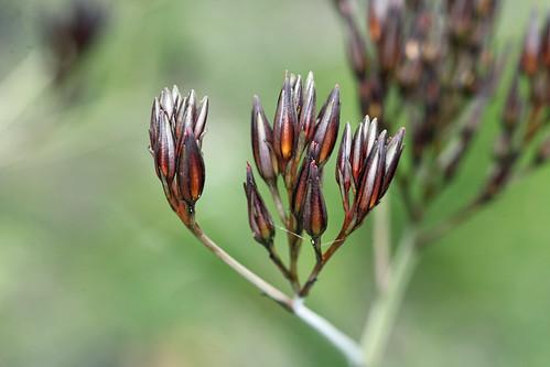 Bloodroot - Haemodorum Genus