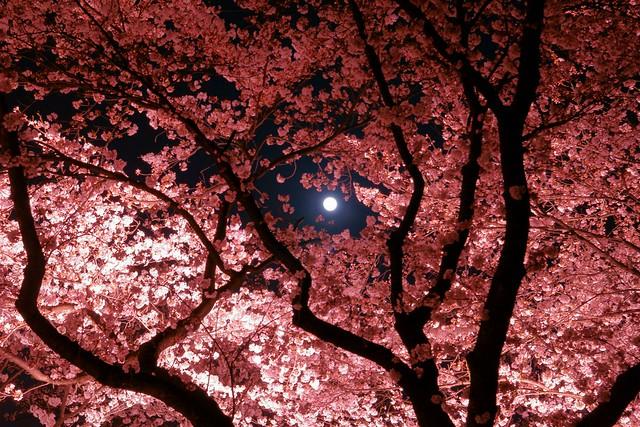 写真_月夜桜