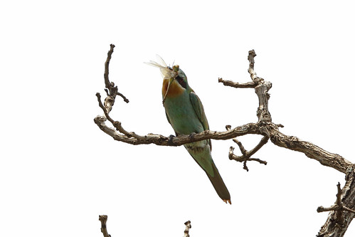 Blue-cheeked Bee-eater with Vagrant Emperor, Sakania, DRC