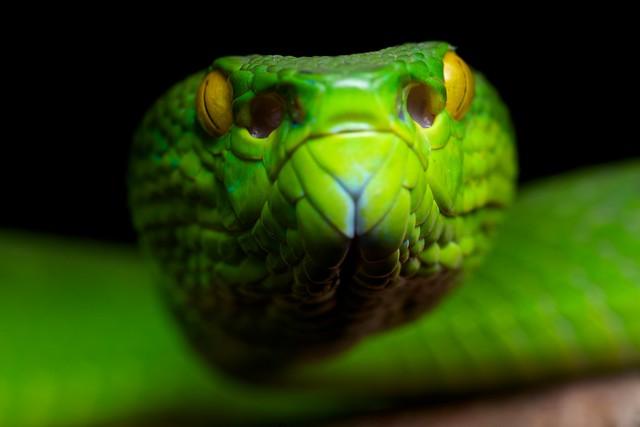 464248fbbd2 Large-eyed pit viper (Trimeresurus macrops) photographed in Virachey  national park