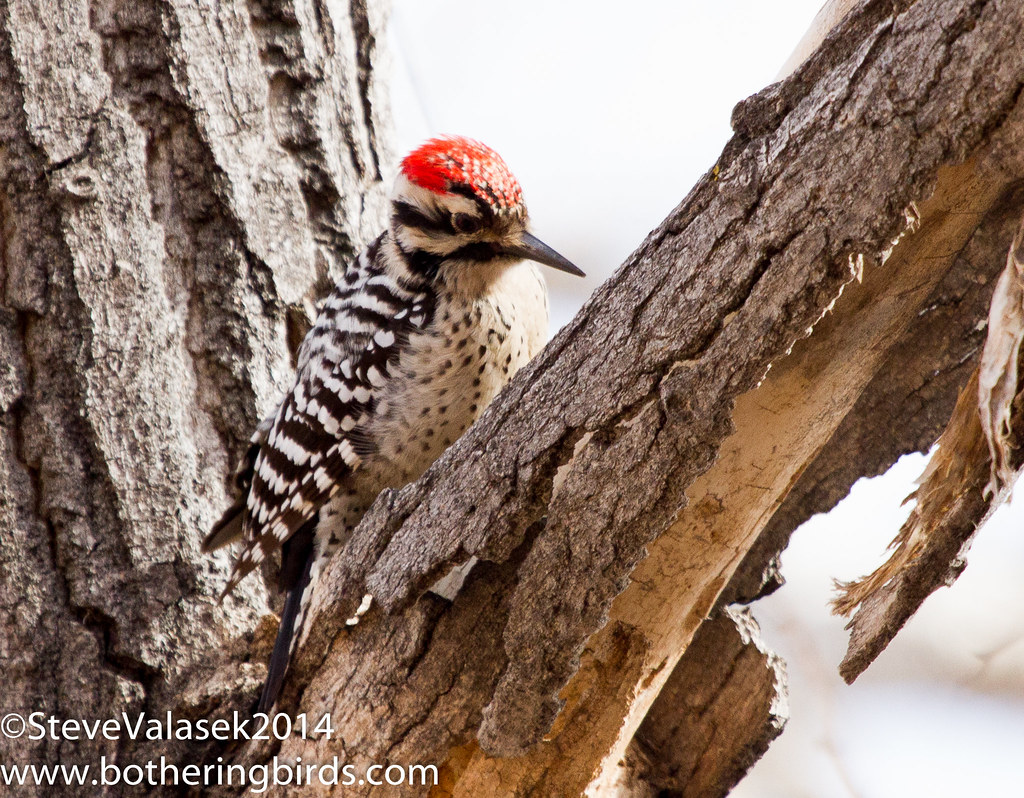 Ladder-Back Woodpecker