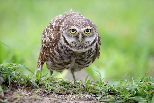 Defensive Owl by Megan Lorenz