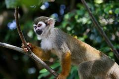 animal, monkey, mammal, squirrel monkey, fauna, old world monkey, new world monkey, wildlife,