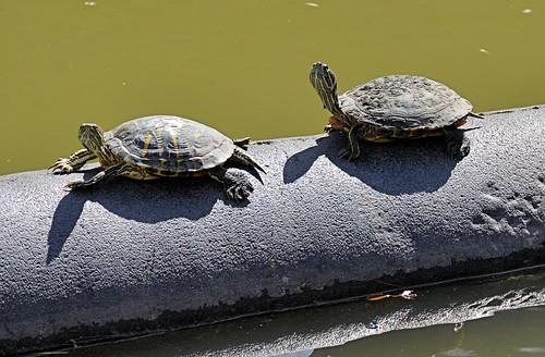 zoo texas turtle reptile shell brownsville gladysporterzoo trachemysscriptaelegans redearedsliderturtle nikond7000 nikkor18to200mmvrlens