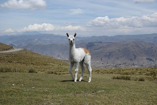 Lama nas montanhas do Andes do Equador