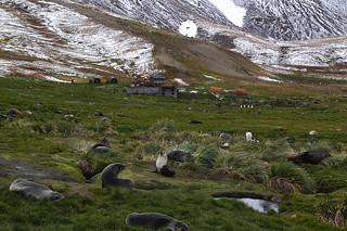 385 Zeeberen bij Grytviken