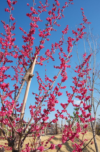 Japanese apricot with red blossoms