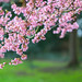 First Pink Blossom by Anna Omiotek-Tott