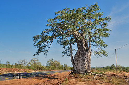 Baobabs of Bengo