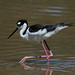 Black-necked Stilt [Himantopus mexicanus]