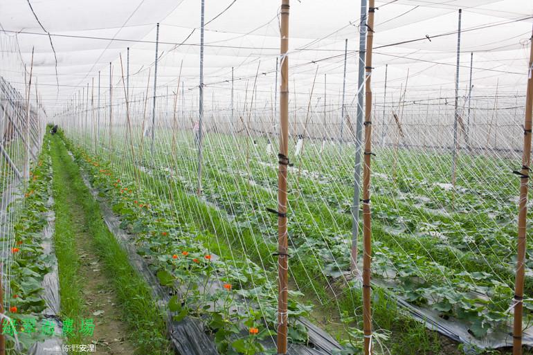綠翠微農場--無毒美濃瓜 (2)