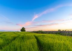 Fife Field Sunset
