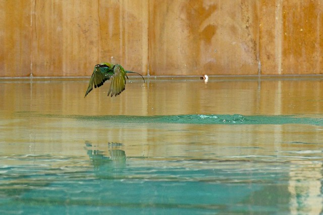 Bee-Eaters Bathing