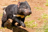 Tasmanian devil juvenile by Rob Reaburn Photography