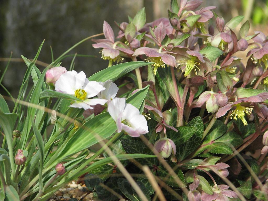 Ranunculus calandrinoides pink form and Helleborus lividus