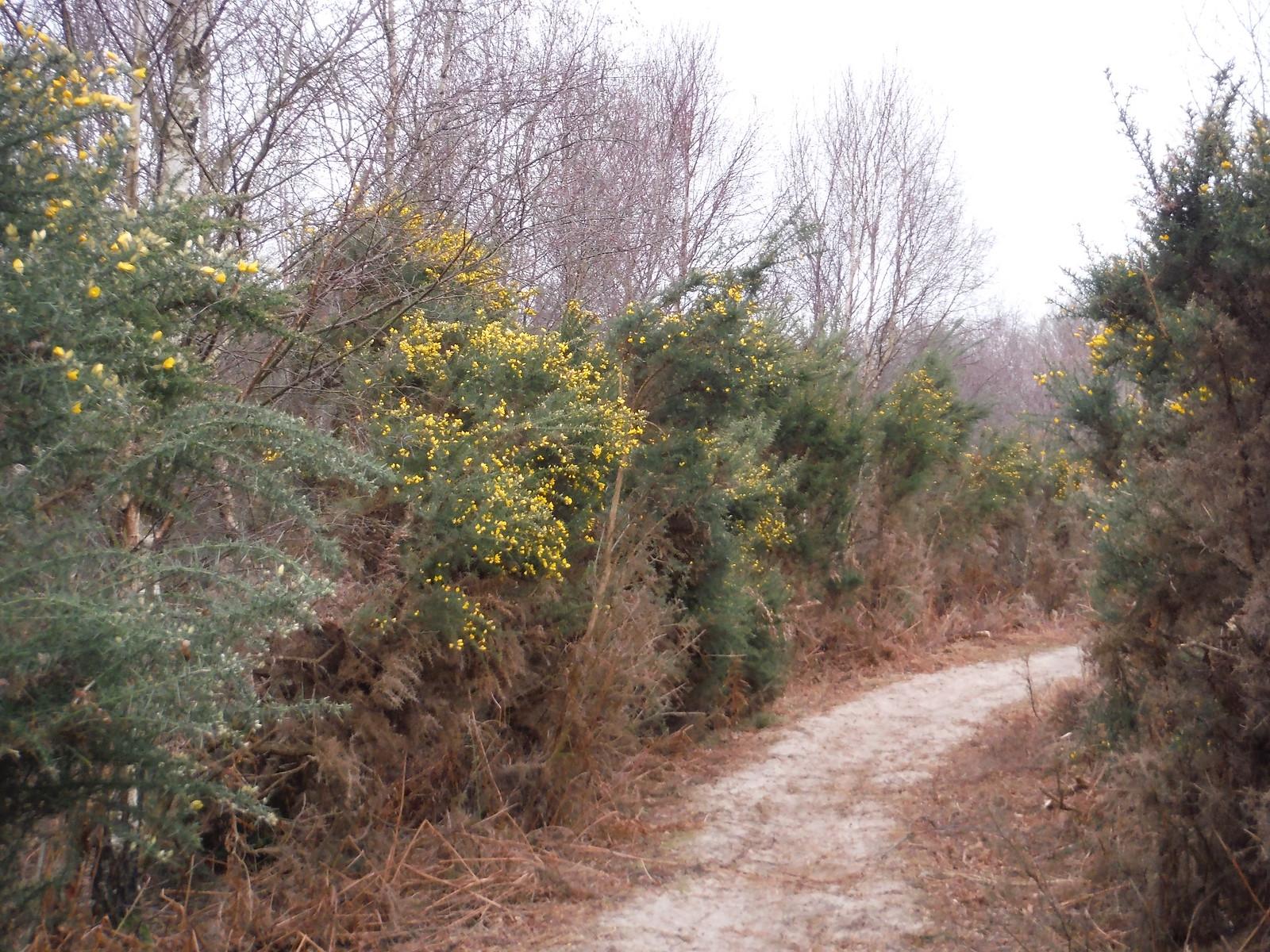 Highcomb Bottom, Path through Gorse SWC Walk 144 Haslemere to Farnham